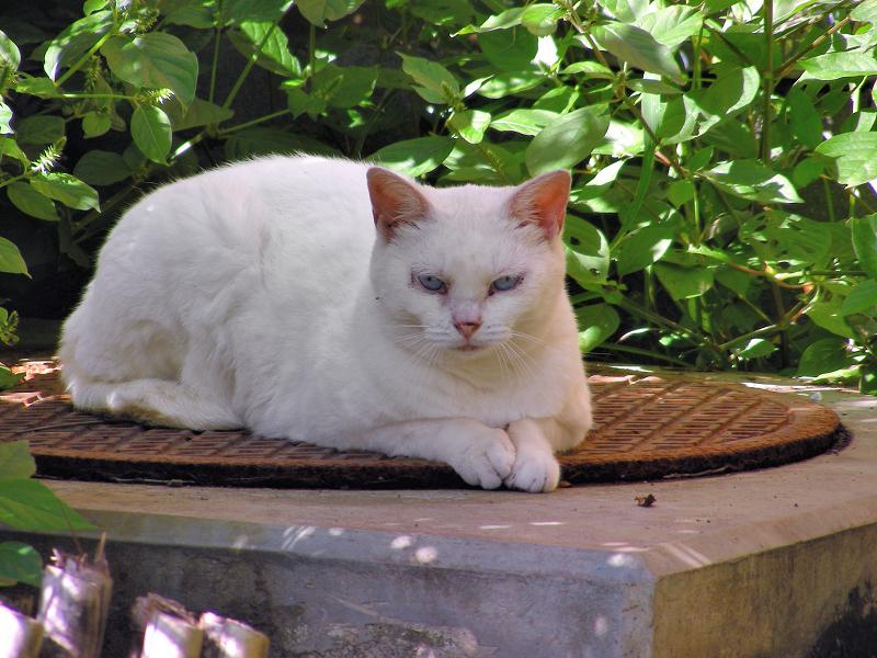 マンホールと白猫2