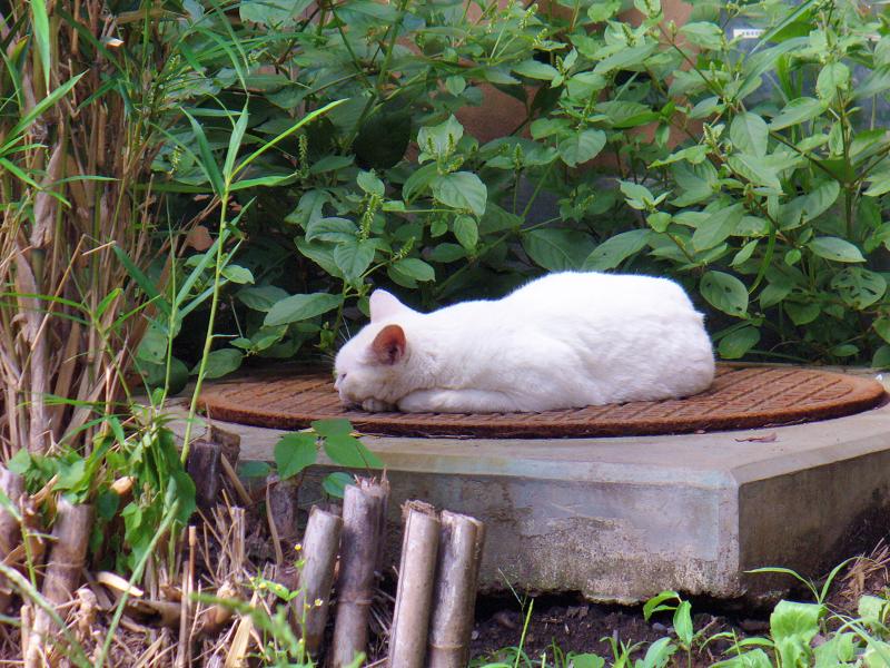マンホールと白猫3