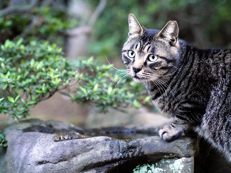 夕暮れのキジトラ猫