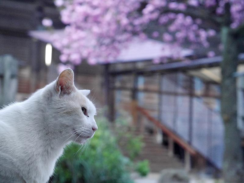 春の夕暮れに桜の木の下にいた猫