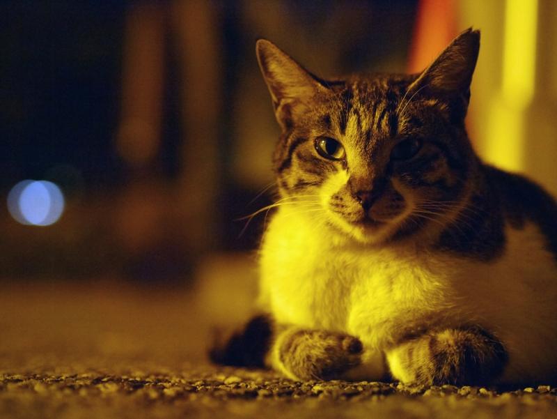 日が暮れたコンクリでのんびりしてるキジ白猫1