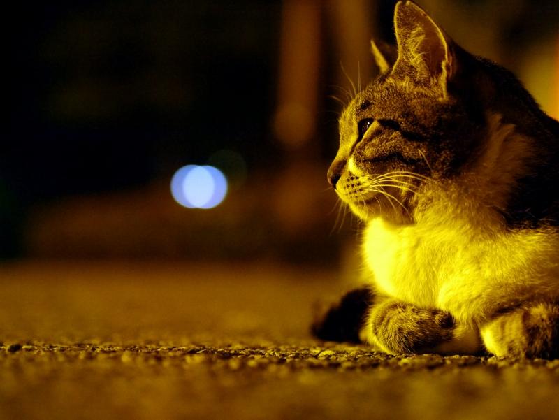 日が暮れたコンクリでのんびりしてるキジ白猫2