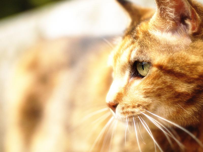 素敵な瞳のサビ柄猫の横顔
