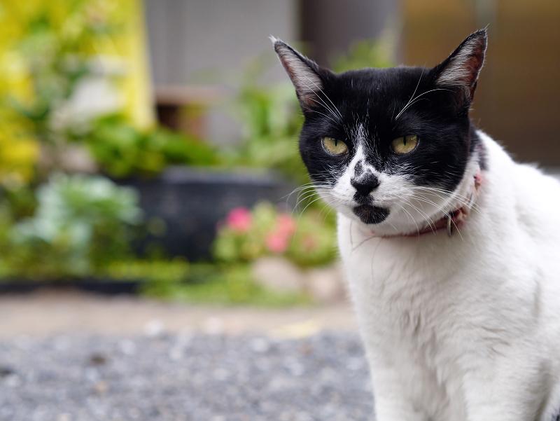 表情を変えずにベロを出す白黒猫1