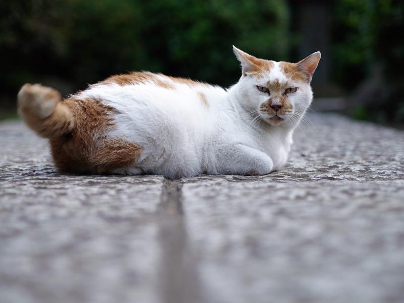 参道の石畳で尻尾で表現する茶白猫