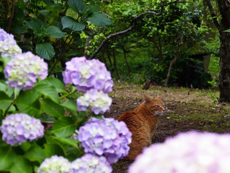 庭園で咲いてるアジサイと茶トラ猫