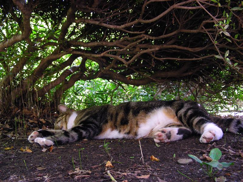夏の日に躑躅の下で寝てるキジ白猫1
