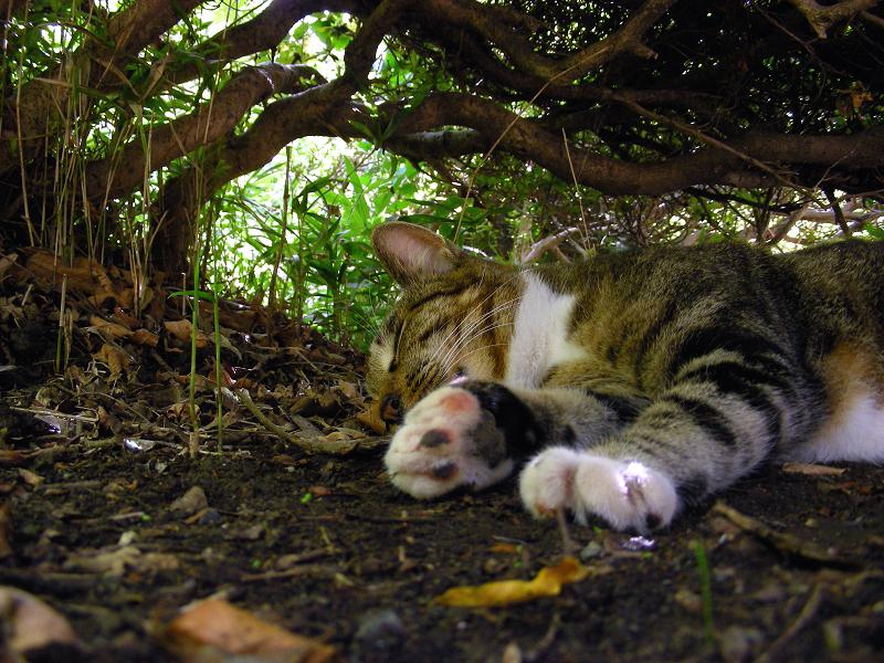 夏の日に躑躅の下で寝てるキジ白猫2