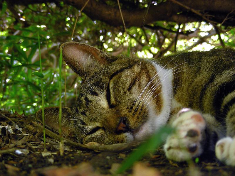 夏の日に躑躅の下で寝てるキジ白猫3