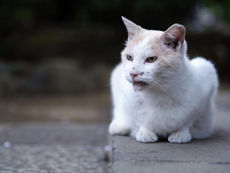 水呑み後の白茶猫01