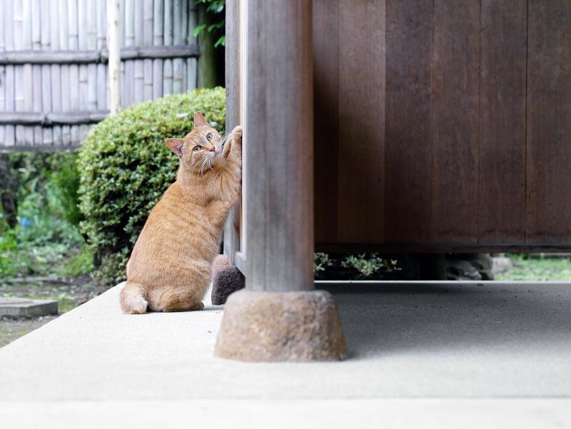 お寺の施設の柱で爪を研ぐ茶トラ猫