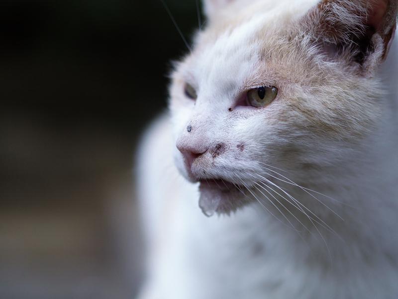 水呑み後の白茶猫02