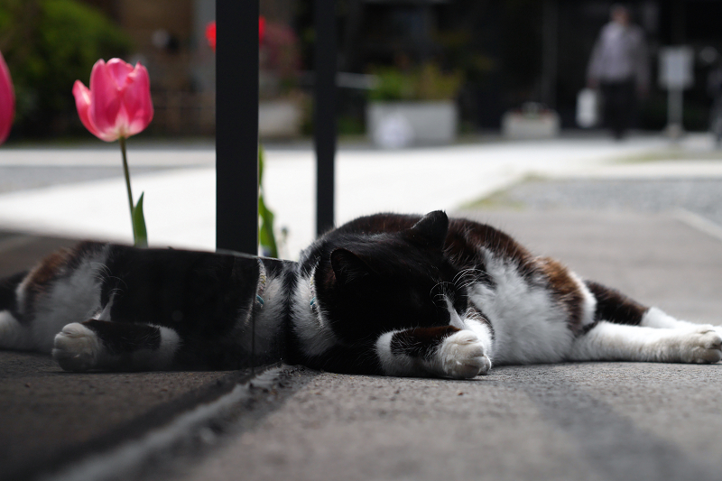 寺の境内のスロープで寝てた黒白猫1