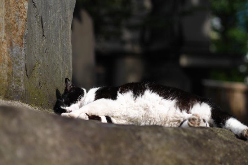 お腹まる出しで寝ている黒白猫1