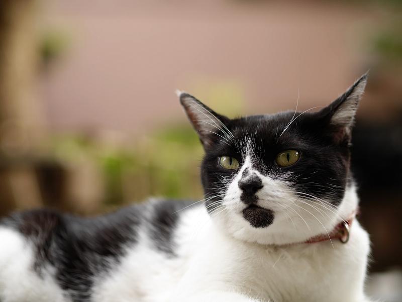 団子柄の白黒猫の表情1