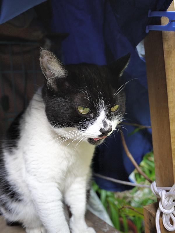 ハウスの前でベロを出す白黒猫01
