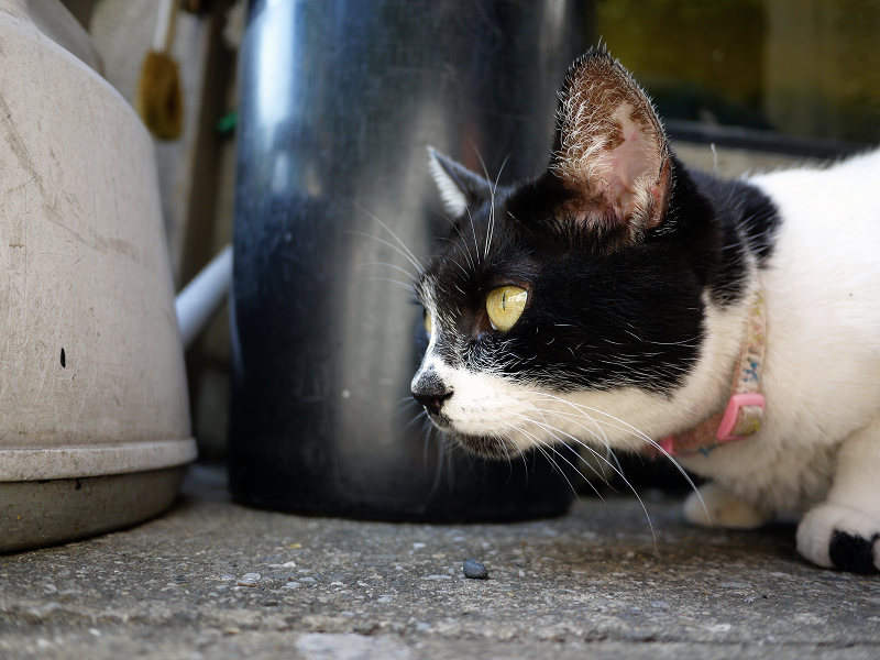 何かをじーっと見ている白黒猫1