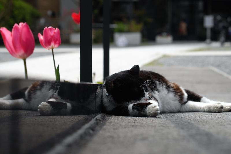 寺の境内のスロープで寝てた黒白猫2
