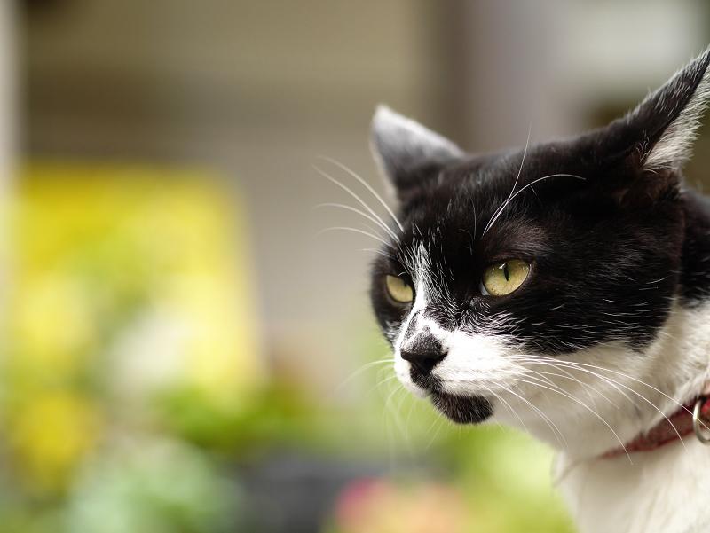 団子柄の白黒猫の表情2
