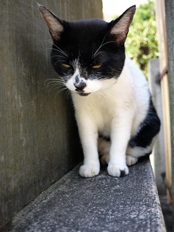 何かをじーっと見ている白黒猫2