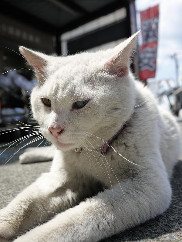 意外と大きい白猫02