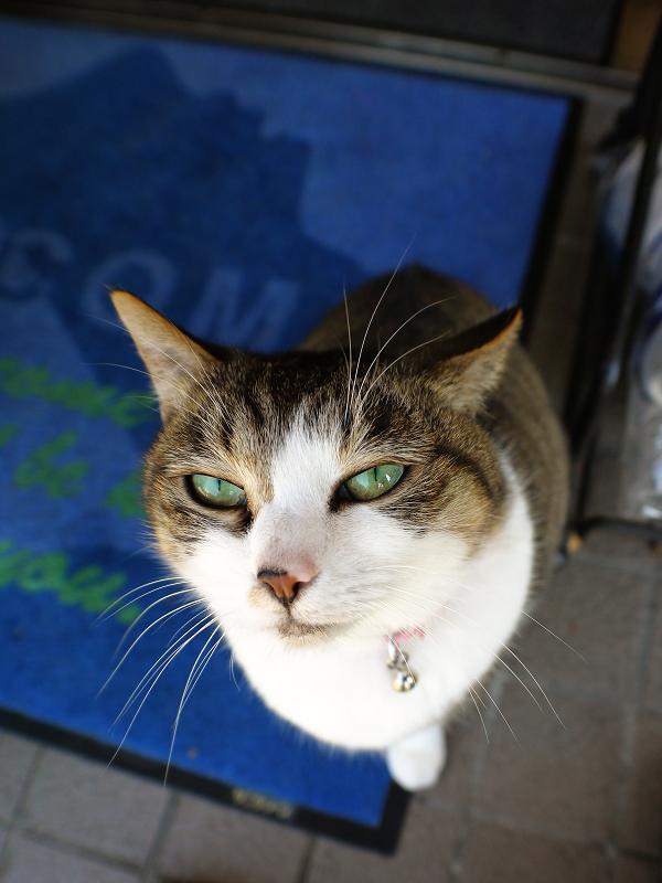 金物屋のキジ白猫を広角で3