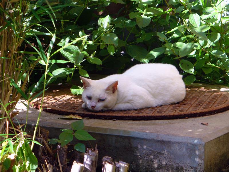 マンホールと白柄の猫1