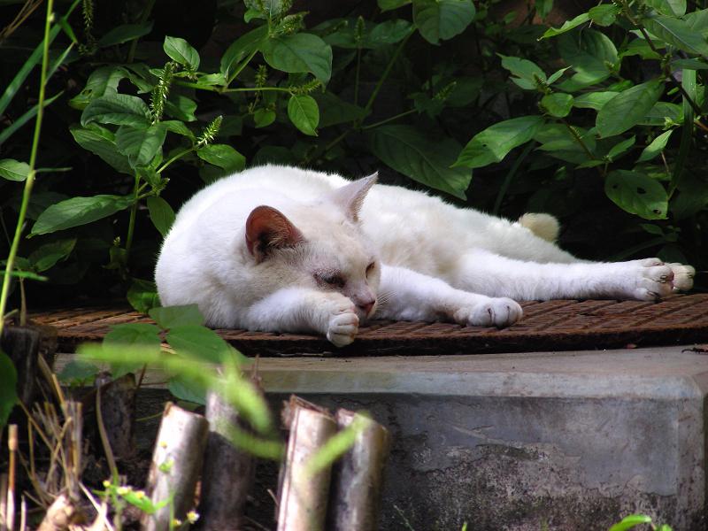 マンホールと白柄の猫2