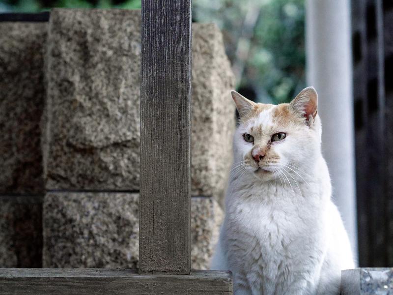 井戸の横の白茶猫01