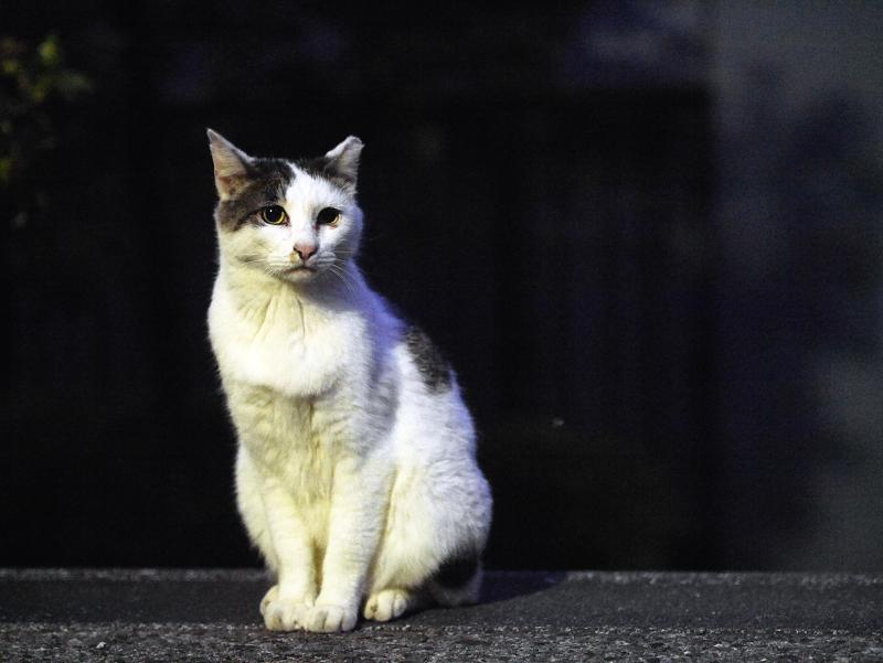 夕闇とキジ白猫1