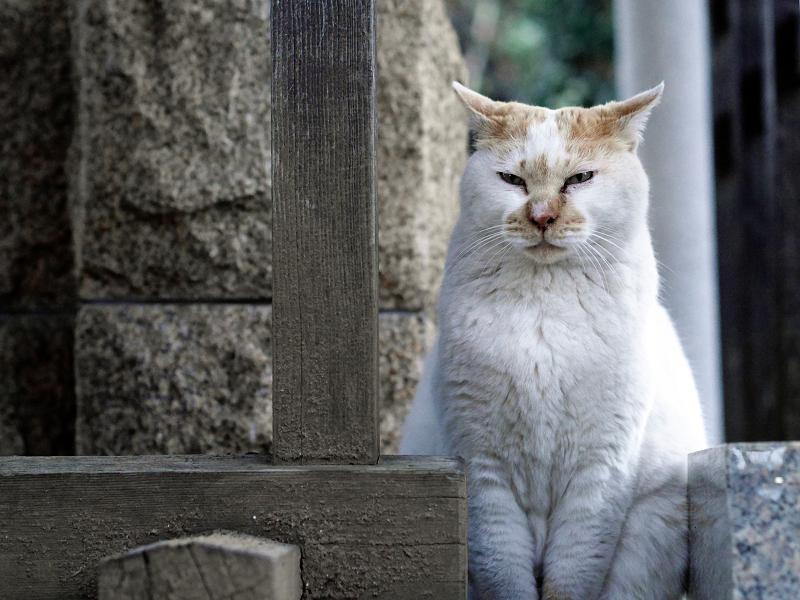 井戸の横の白茶猫02