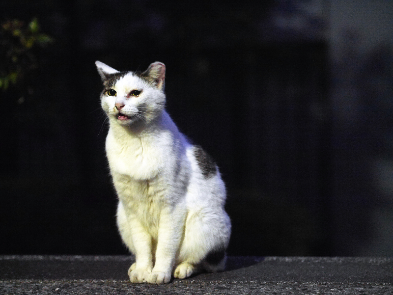 夕闇とキジ白猫2