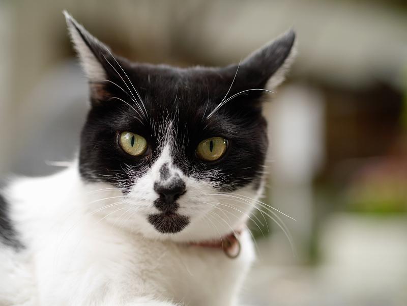 マンホールと白柄の猫のコロコロと変わる表情1