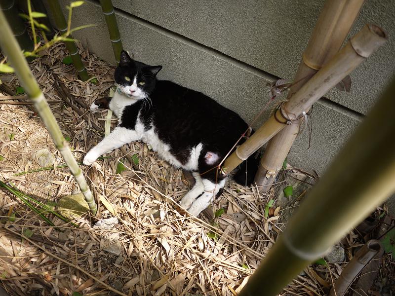 竹藪で寝ていた黒白猫