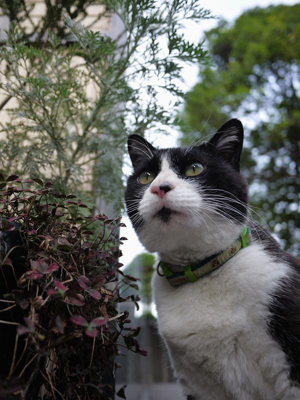 遠くを見てる黒白猫のローアングル1