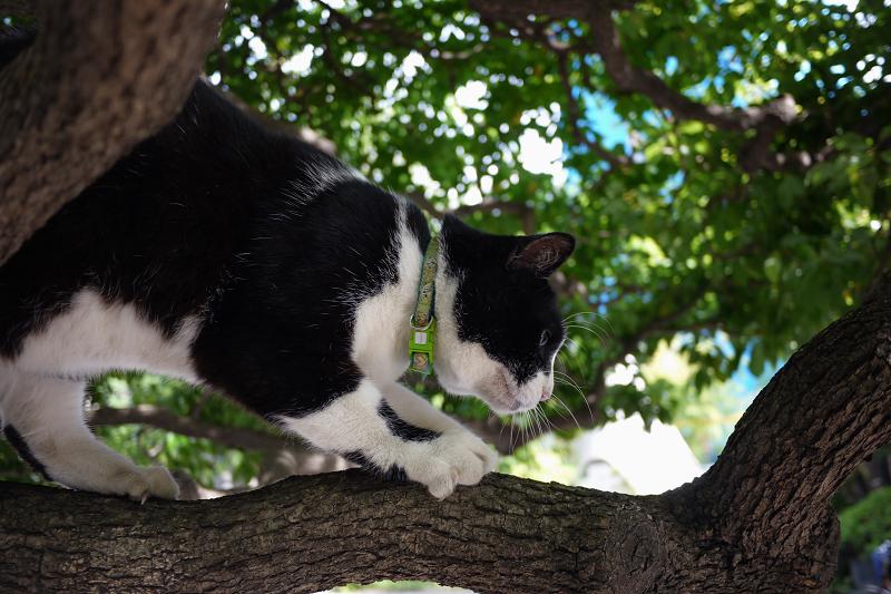 クスノキに乗ってる黒白猫1