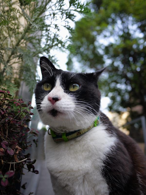 遠くを見てる黒白猫のローアングル2