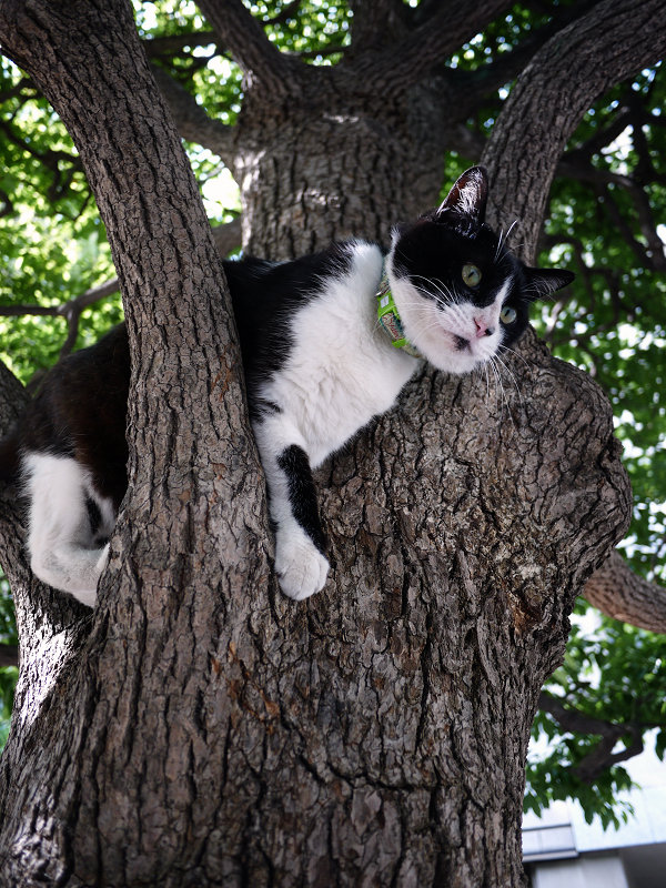 クスノキに乗ってる黒白猫2