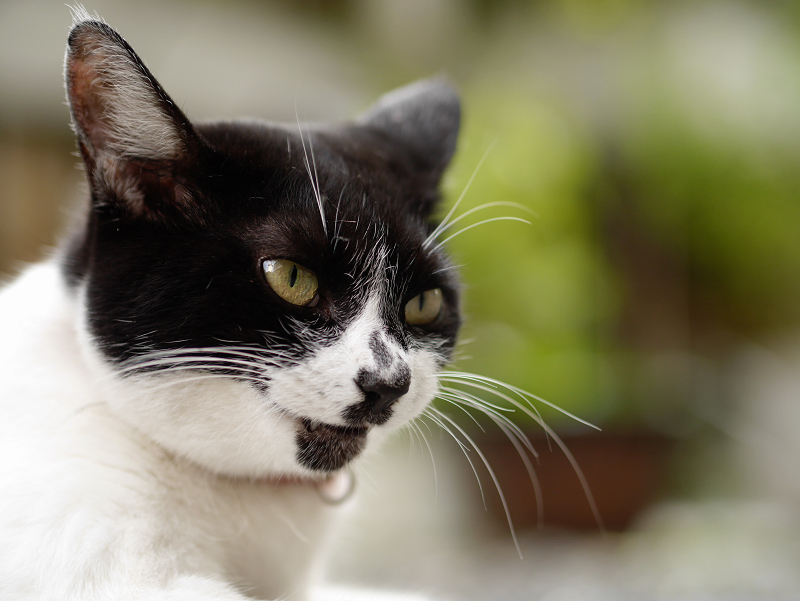 マンホールと白柄の猫のコロコロと変わる表情3