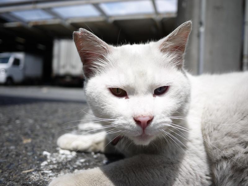 でかい白猫をローアングルで01