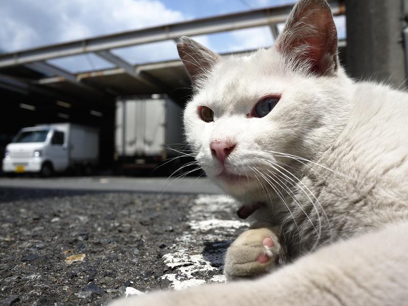 でかい白猫をローアングルで02
