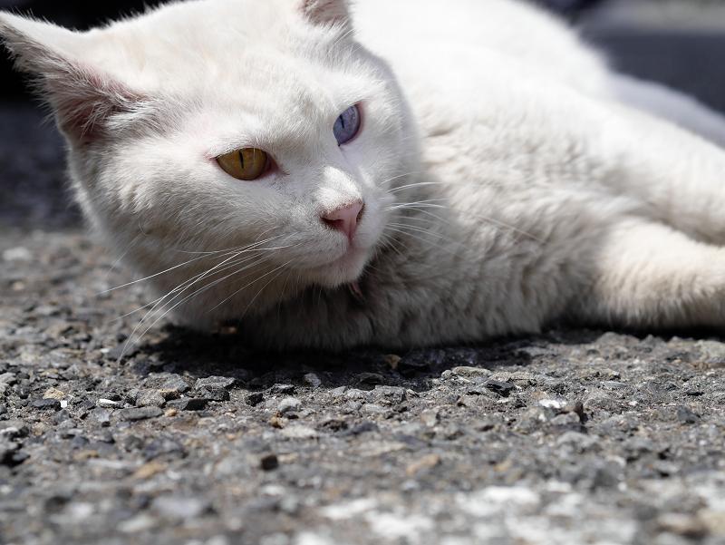でかい白猫をローアングルで03