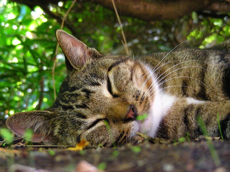 躑躅の下で寝てるキジ白猫の寝顔
