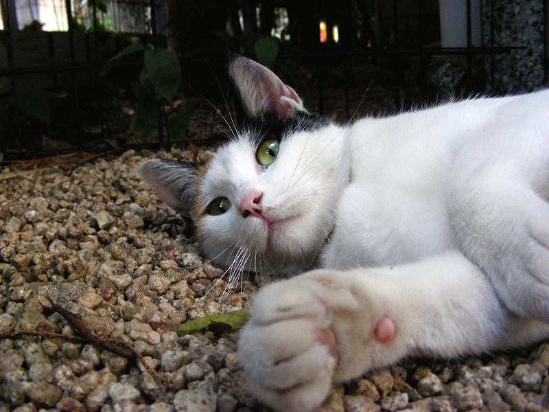 小砂利の上で転がる猫2
