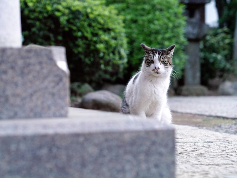井戸の横のキジ白猫01