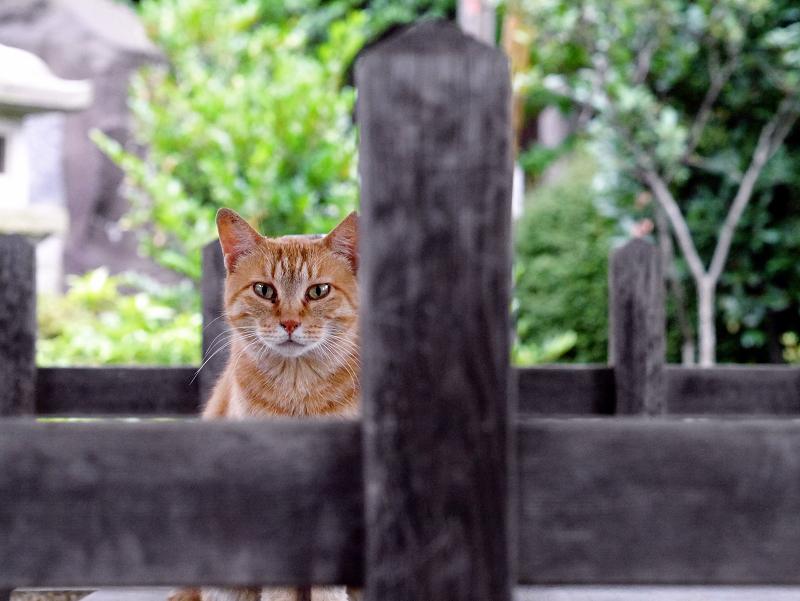 木柵と茶トラ猫1