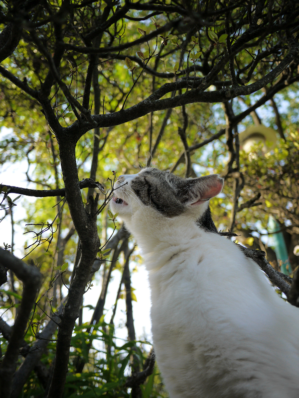 植え込みの中の不思議行動白キジ猫1