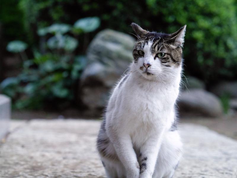 井戸の横のキジ白猫02