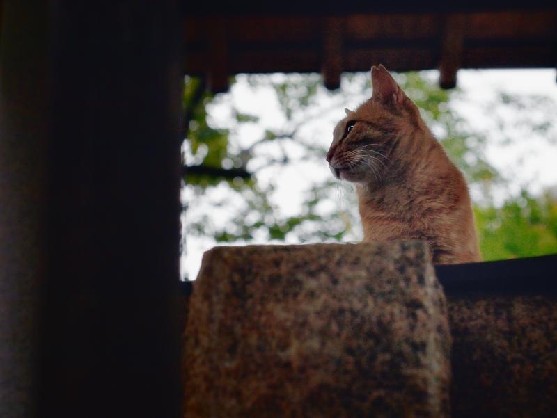 木柵と茶トラ猫2