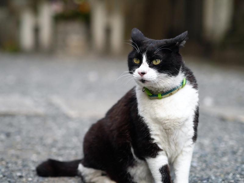 境内で真剣顔の黒白猫1